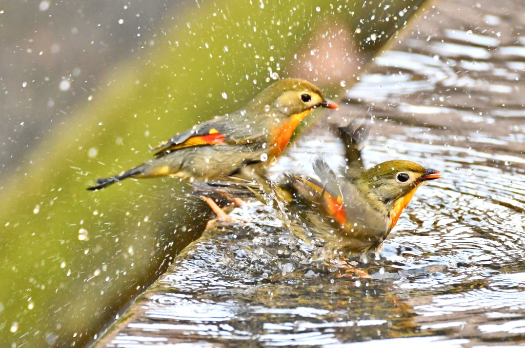 YICHANG, Feb. 6, 2019 - Red-billed leiothrixes frolic by a pool of a community green belt in Yichang, central China's Hubei Province, Feb. 5, 2019.