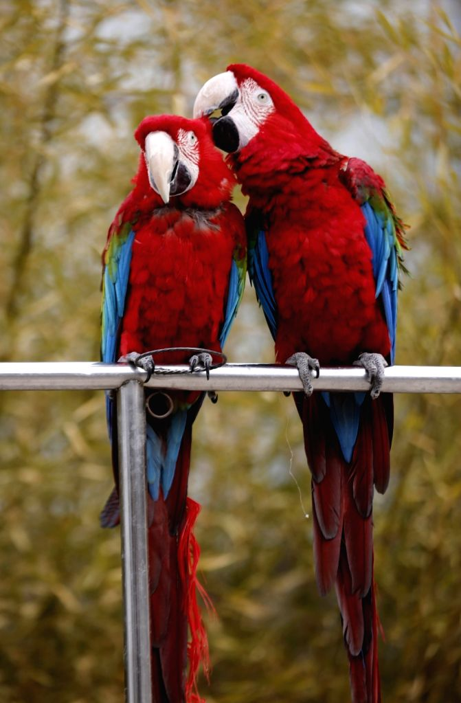 YINAN, Feb. 14, 2018 - A pair of parrots lean close to each other at a zoo in Zhuquan Village of Yinan County, east China's Shandong Province, Feb. 14, 2018, on the occasion of the Valentine's Day.