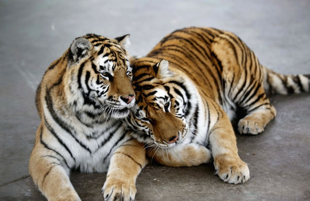 YINAN, Feb. 14, 2018 - A pair of tigers lean close to each other at a zoo in Zhuquan Village of Yinan County, east China's Shandong Province, Feb. 14, 2018, on the occasion of the Valentine's Day.