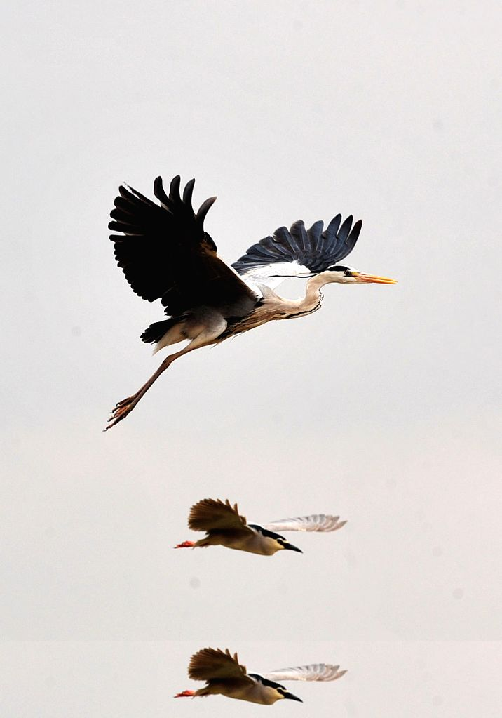 Two grey herons hover over a wetland in the Shahu Scenic Area in Yinchuan, capital of northwest China's Ningxia Hui Autonomous Region, April 16, 2014. In April, ..