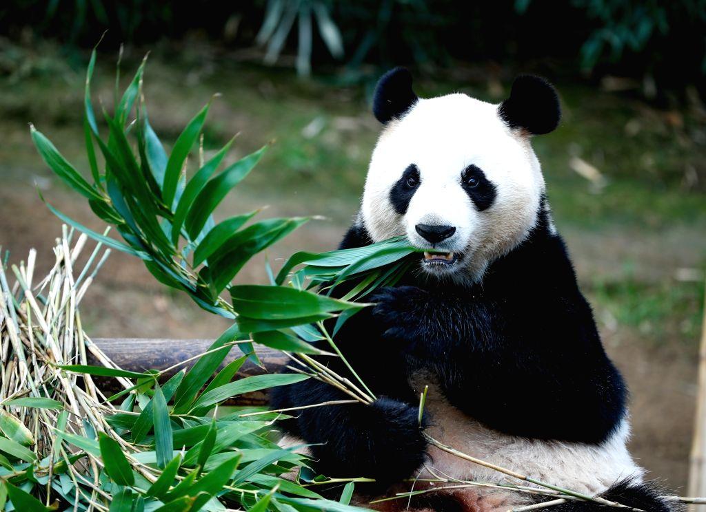 YONGIN, April 21, 2019 - Chinese female giant panda Ai Bao eats bamboos at the Panda World of Everland Resort in the city of Yongin, South Korea, on April 18, 2019. Chinese male giant panda Le Bao ...
