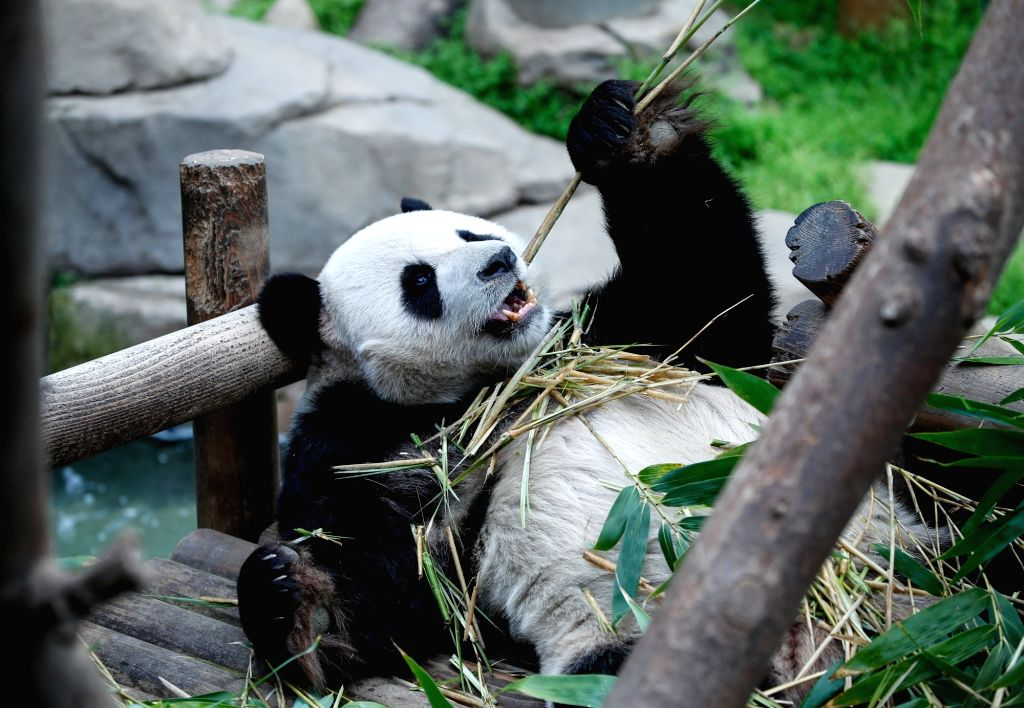 YONGIN, April 21, 2019 - Chinese male giant panda Le Bao eats bamboos at the Panda World of Everland Resort in the city of Yongin, South Korea, on April 18, 2019. Chinese male giant panda Le Bao and ...