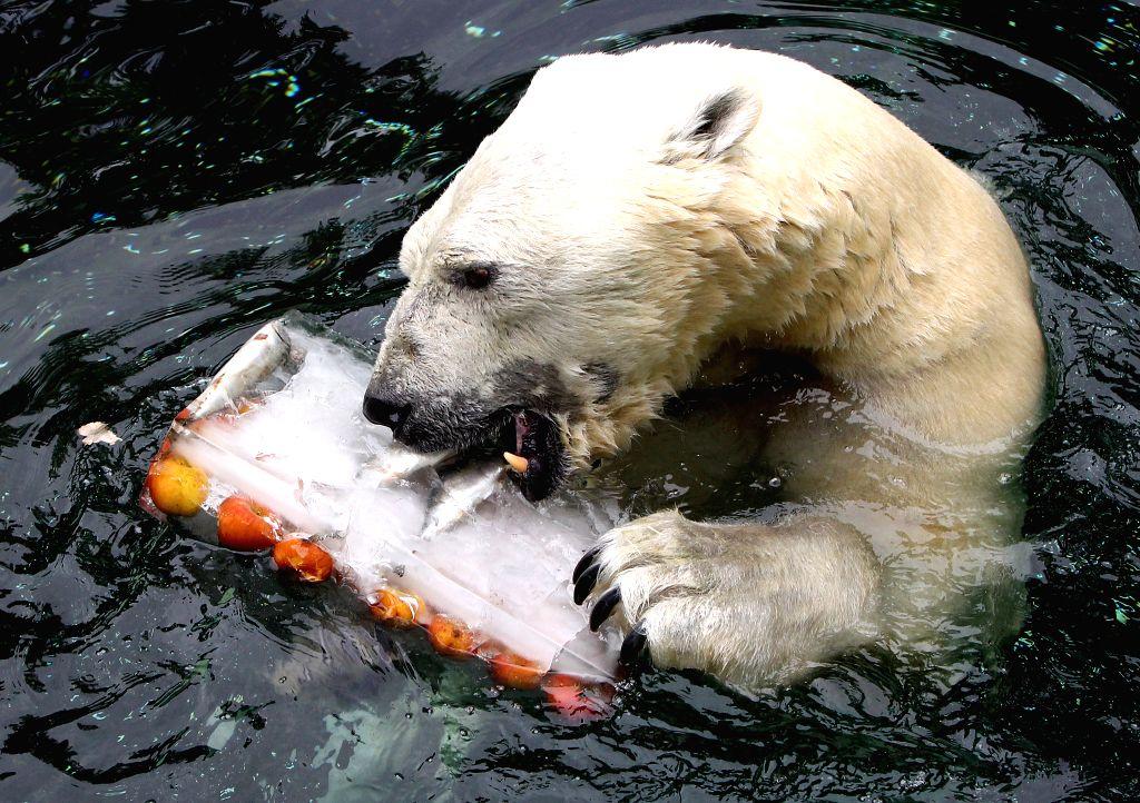 Polar bear Tonki enjoys food at the Everland Amusement Park in Yongin, Gyeonggi province, Korea, July 17, 2014. The polar bear is given special iced treats by zoo ...
