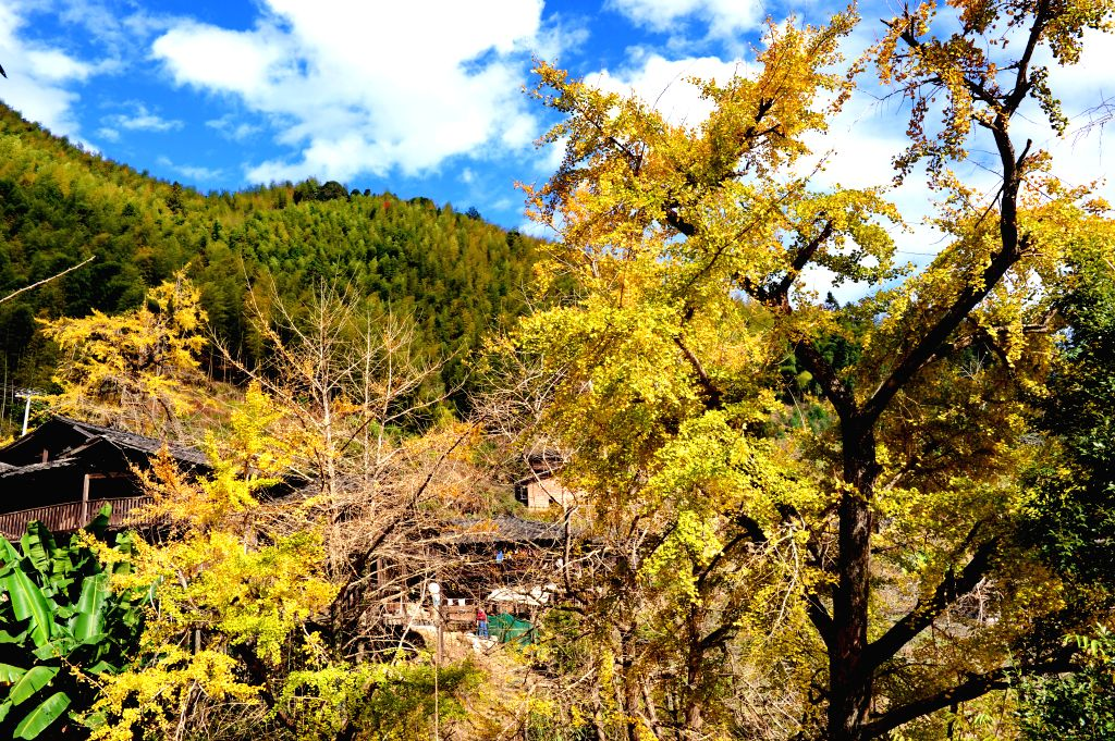 Yongtai (China): Photo taken on Nov. 28, 2014 shows an old village in a gingko forest in Zhufeng Village of Gaiyang Township in Yongtai County, southeast China's Fujian Province. Golden gingko leaves