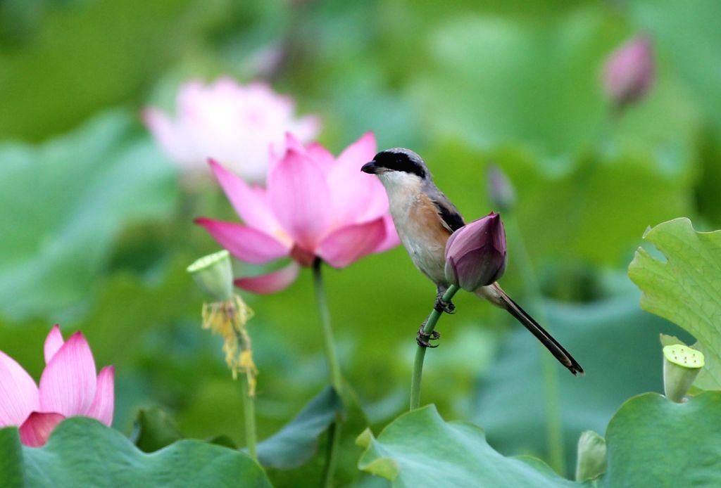 YONGZHOU, June 10, 2019 - A bird perches on a lotus flower in Xiwan Village, Yongzhou City of central China's Hunan Province, June 9, 2019.