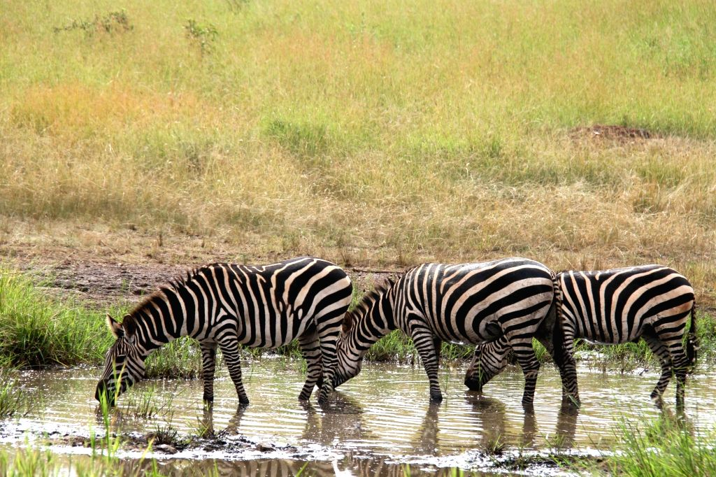 Zebras drink water in Akagera National Park, eastern Rwanda, on Feb. 12, 2018. Akagera National Park is Rwanda's only protected savannah region with a ...