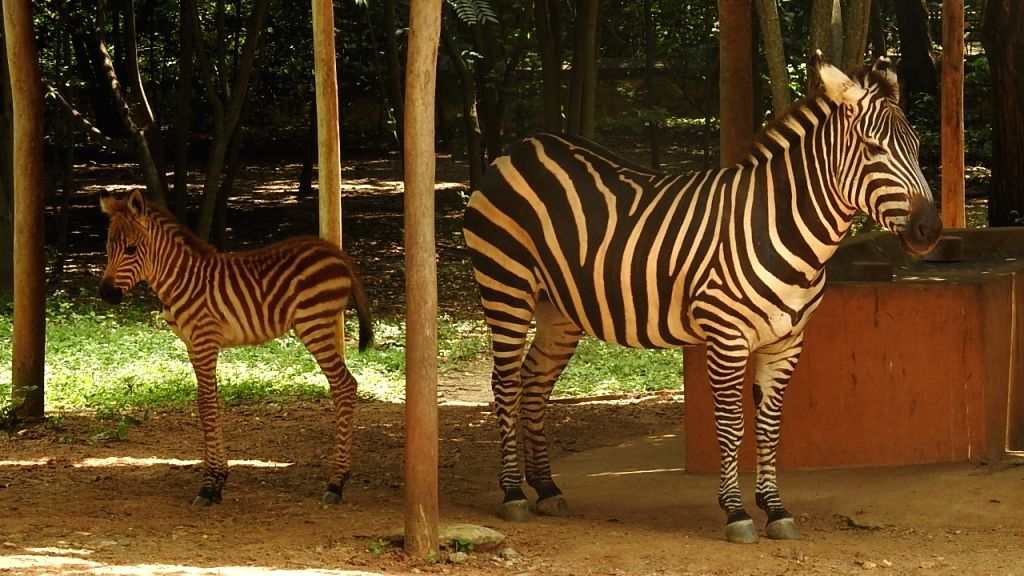 Zewbra foal is born in Mysuru Zoo story.