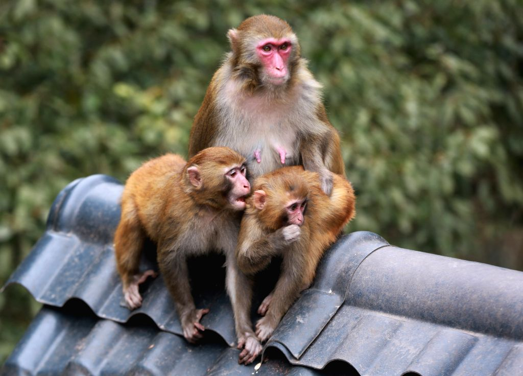 ZHANGJIAJIE, Feb. 24, 2019 - Macaques play on a roof at Wulingyuan National Park in Zhangjiajie, central China's Hunan Province, on Feb. 24, 2019. The early spring brought warm weather to the ...