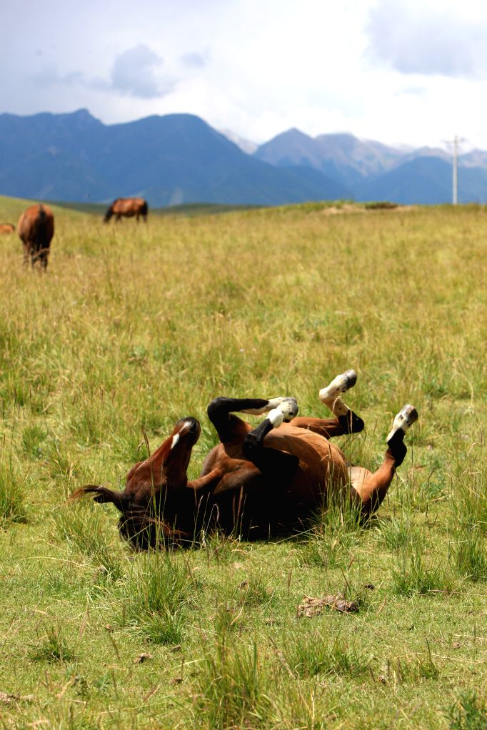 A horse frolics at the Shandan Horse Ranch in Zhangye City, northwest China's Gansu Province, Aug. 23, 2014. The Shandan Horse Ranch, which locates in the Qilian ...