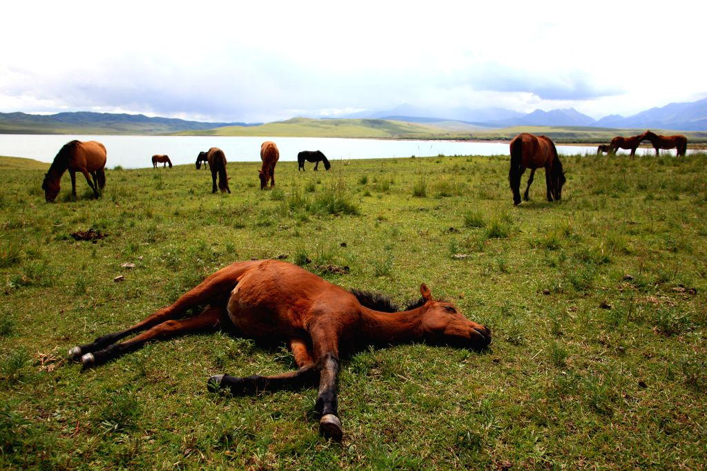 ZHANGYE, Aug. 25, 2014 (Xinhua) -- A horse lies on ground at the Shandan Horse Ranch in Zhangye City, northwest China's Gansu Province, Aug. 23, 2014. The Shandan Horse Ranch, which locates in the Qilian Mountain's Damayin pastureland, covers an area
