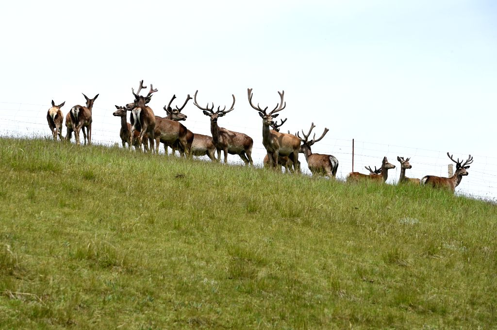 ZHANGYE, July 21, 2019 - Photo taken on July 20, 2019 shows red deer on a grassland in Dahe Township, Zhangye, northwest China's Gansu Province. More than 100 red deer have a rest and search for food ...