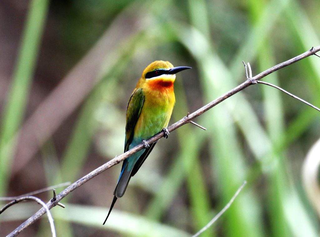 ZHAOTONG, June 4, 2016 - Photo taken on June 2, 2016 shows a blue-tailed bee eater in Qiaojia County of southwest China's Yunnan Province. Blue-tailed bee eater is reputed as one kind of the most ...