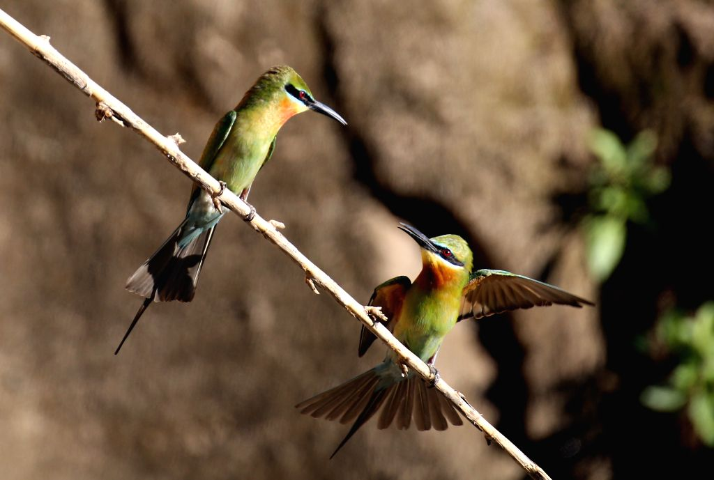 ZHAOTONG, June 4, 2016 - Photo taken on June 4, 2016 shows blue-tailed bee eaters in Qiaojia County of southwest China's Yunnan Province. Blue-tailed bee eater is reputed as one kind of the most ...