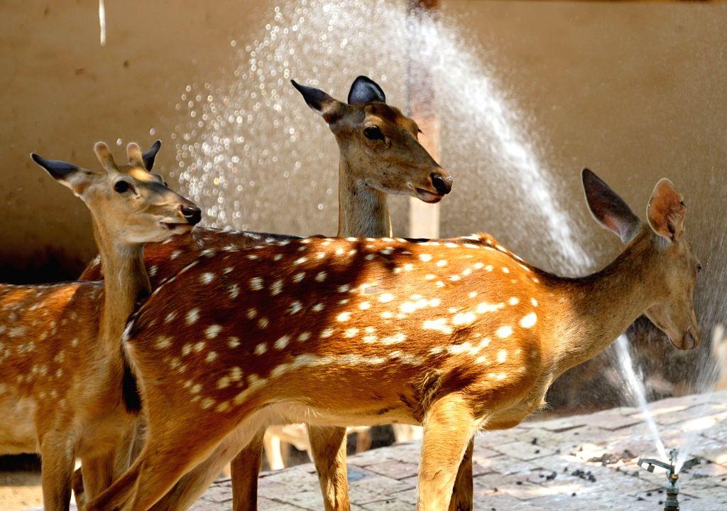 ZHENGZHOU, July 24, 2018 - Sika deers enjoy coolness in summer by taking showers at the Zhengzhou Zoo in Zhengzhou, capital of central China's Henan Province, July 24, 2018. Zoo staff members have ...