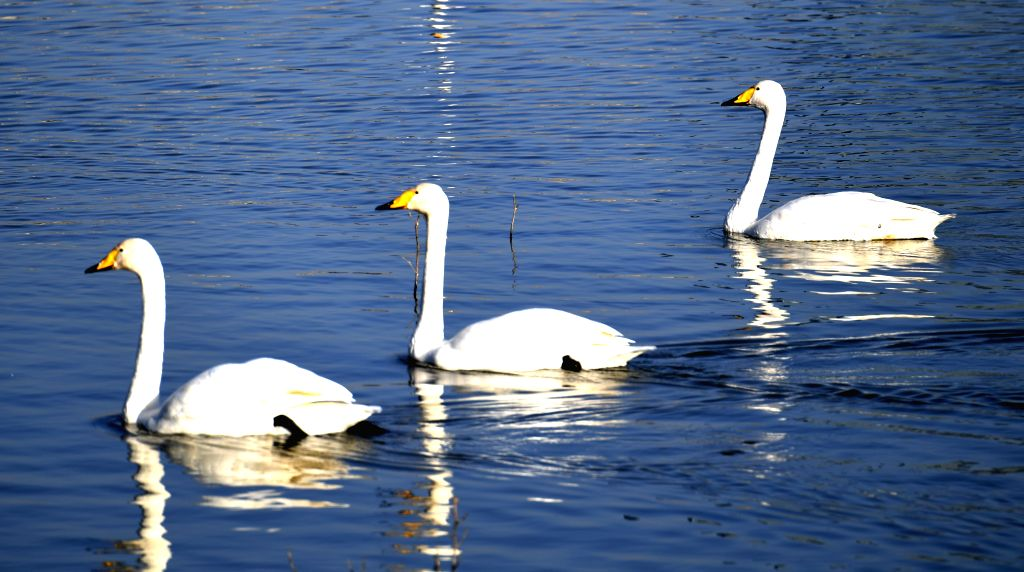 ZHENGZHOU, Nov. 15, 2019 - Photo taken on Nov. 14, 2019 shows white swans at a wetland in Sanmenxia, central China's Henan Province. White swans have flown from Siberia to the Yellow River wetland in ...