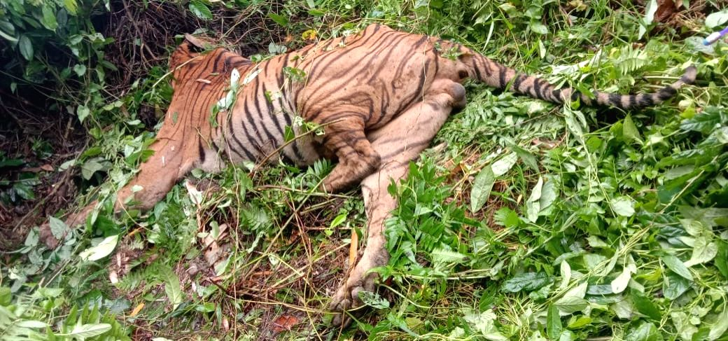 """A 10-year old Royal Bengal Tiger killed in """"accidental firing"""" in Assam."""