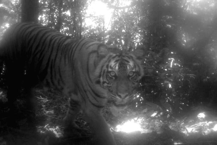 A camera-trap study in a national park in Sumatra captured images of critically endangered wildlife, like this Sumatran tiger. (Panthera tigris sumatrae). (Photo Courtesy: Max Allen)