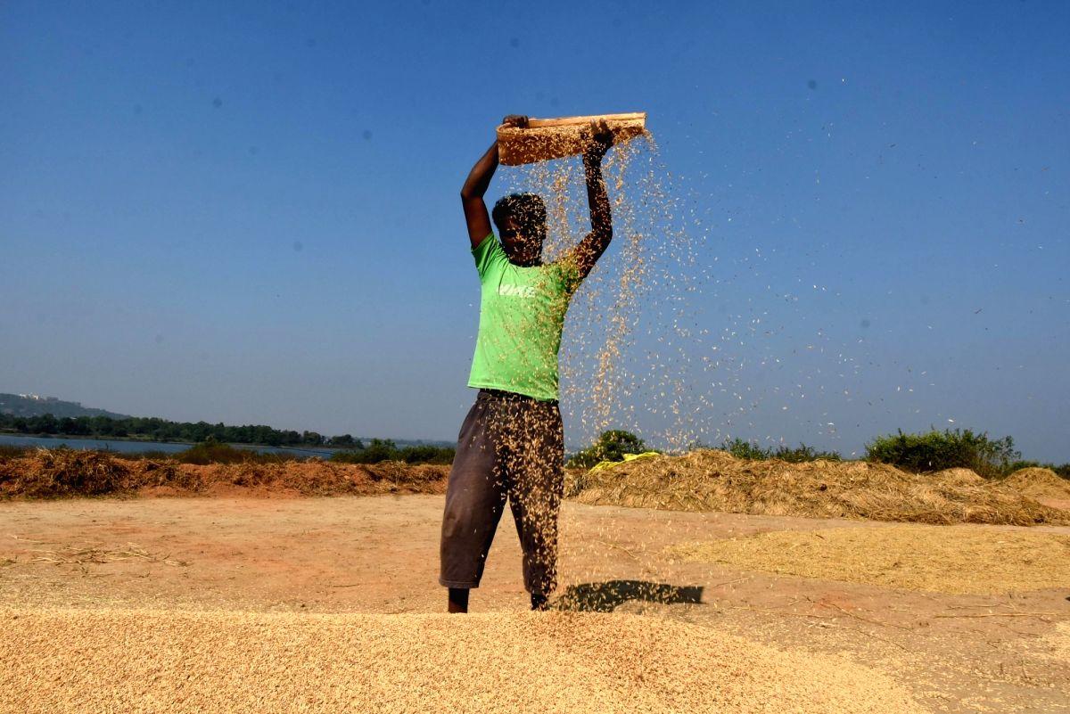 A farmer busy winnowing paddy. (File Photo: IANS)