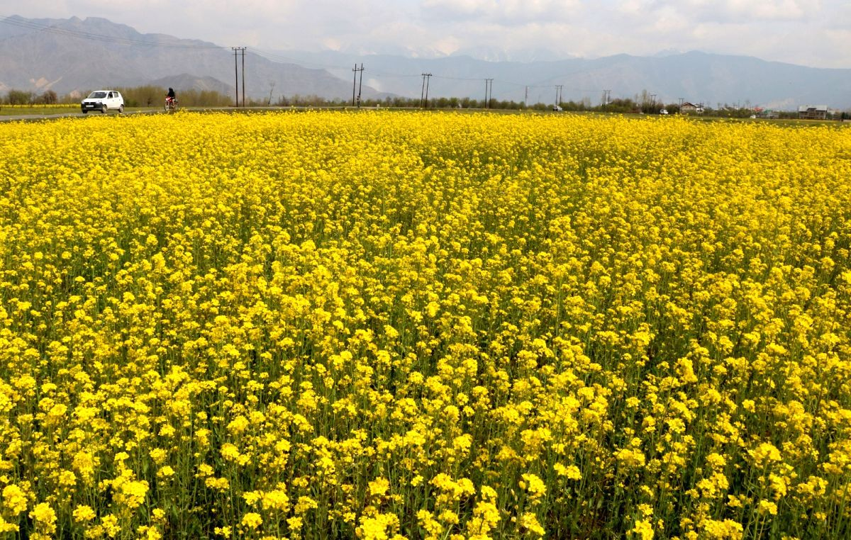 A view of blooming mustard fields in Pampore of Jammu and Kashmir.