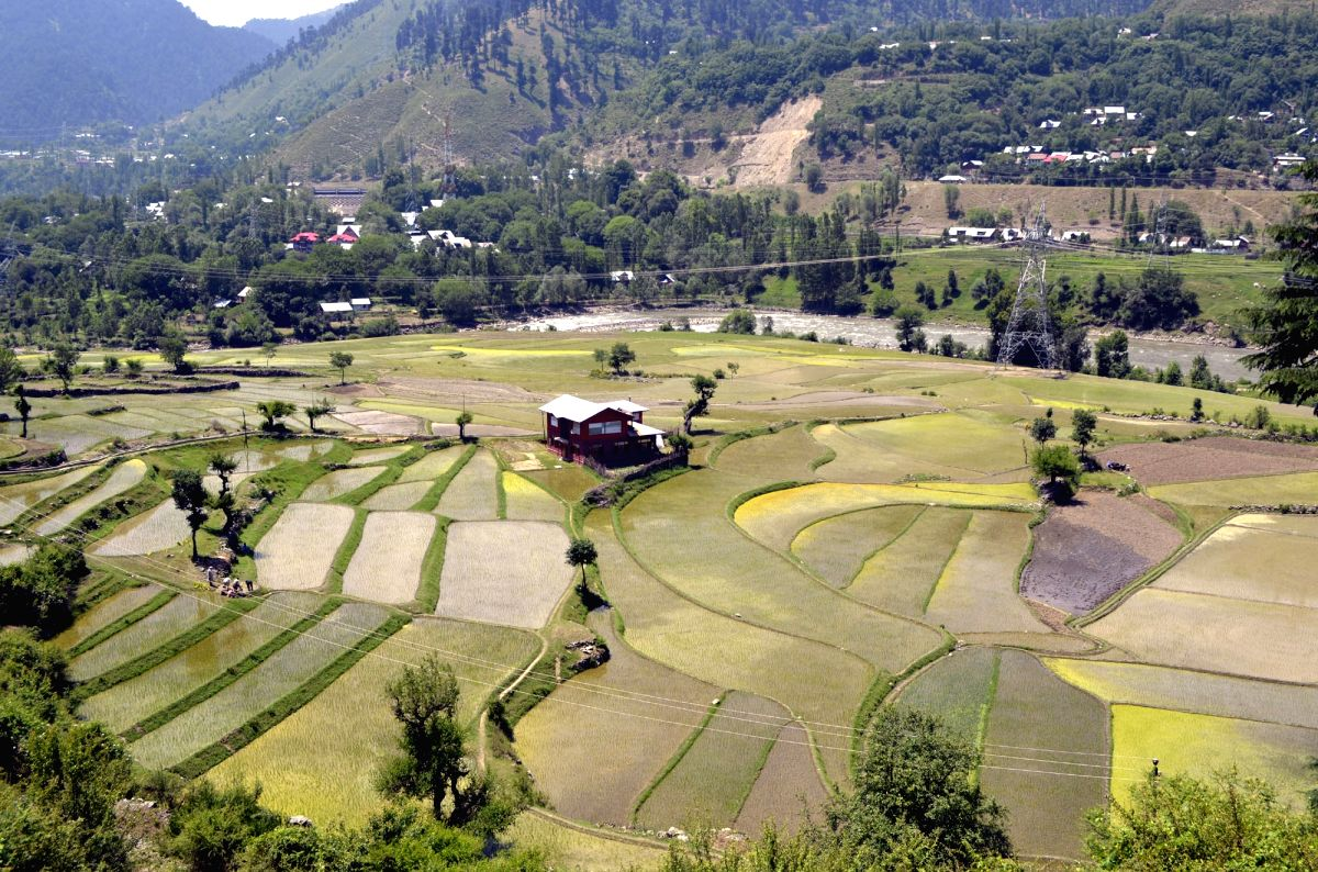 A view of paddy fields in Boniyar of Jammu and Kashmir's Baramulla district.