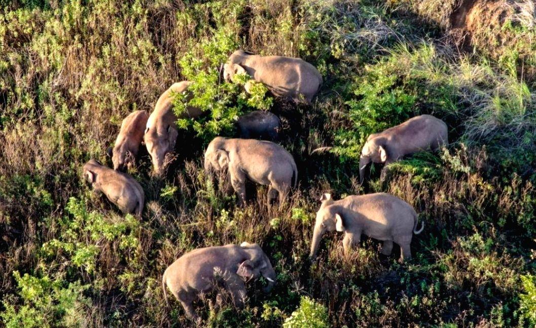 Aerial photo taken on June 20, 2021 shows the Asian elephants in Dalongtan Township of Eshan County, Yuxi City of southwest China's Yunnan Province.(Xinhua/IANS)