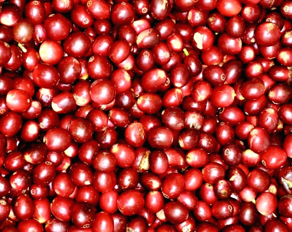 Araku coffee-Red cherries