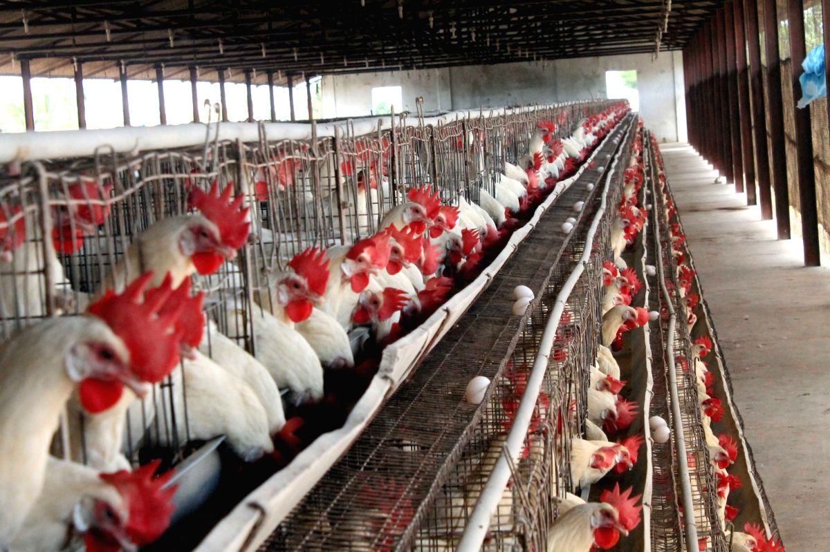 Avian influenza: Punjab bans import of live poulty birds