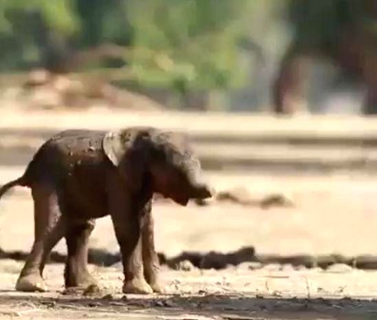 Baby elephant first walk amuses netizens.