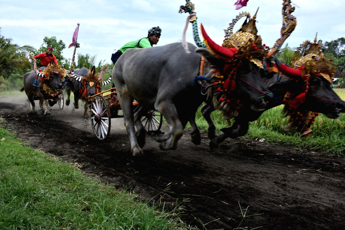 Jockeys spur buffalos during the Makepung buffalo races at Jembrana in Bali, Indonesia.