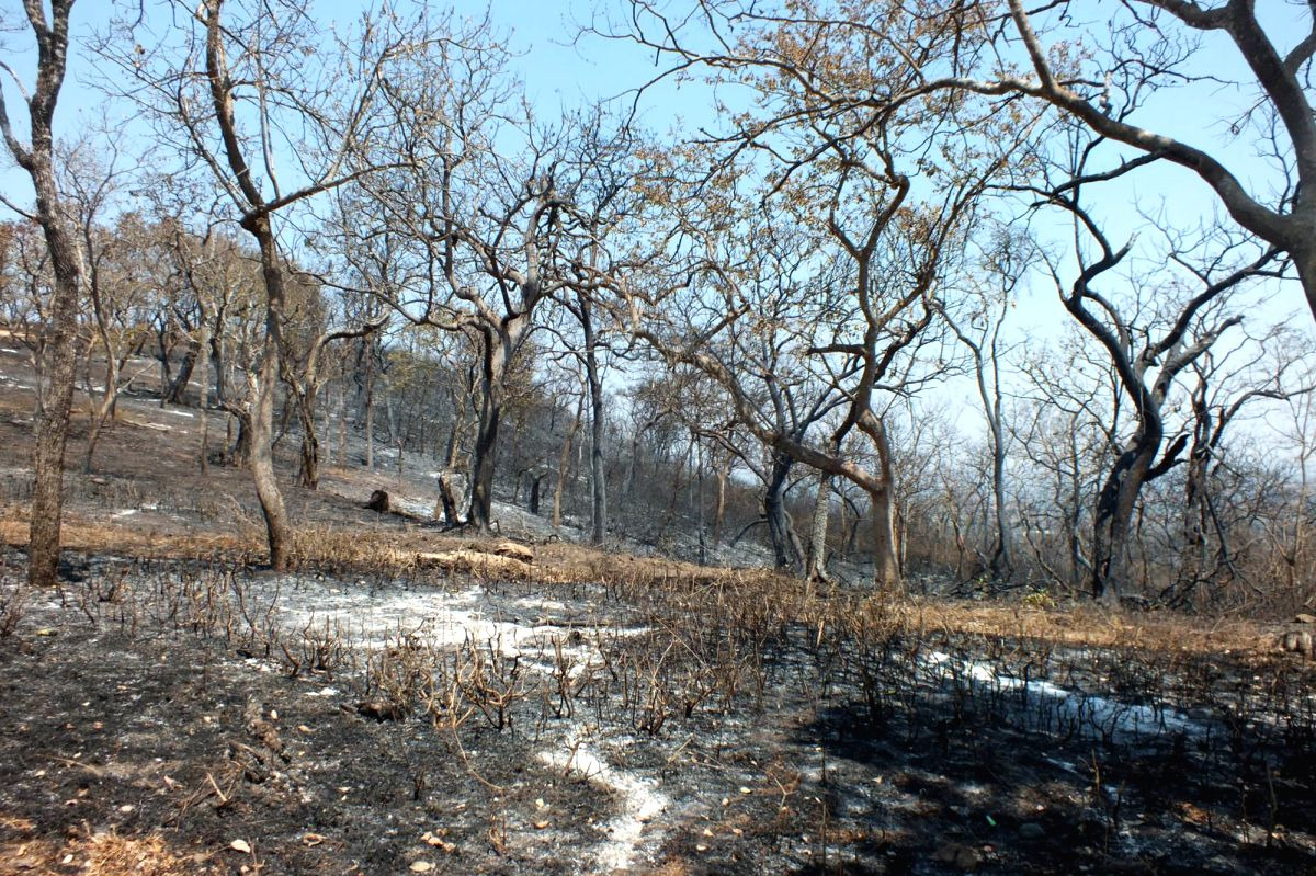 Bandipur: The fire that had engulfed the forests of the Bandipur Tiger Reserve of Karnataka which had been raging for five long days was finally doused, on Feb 26, 2019.