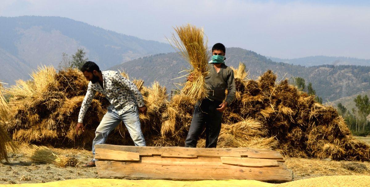 Baramulla: Farmers busy thrashing paddy at a field in Jammu and Kashmir's Baramulla, on Oct 18, 2019.
