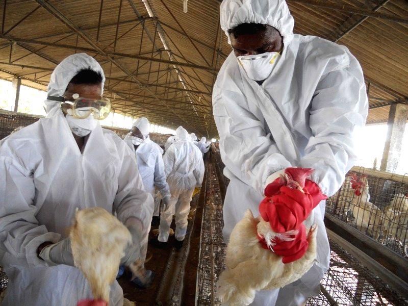 Bird flu detected in Odisha, culling ordered.