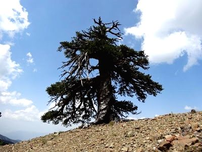 Bosnian Pine tree Adonis. (Pic Courtesy : Science Daily)