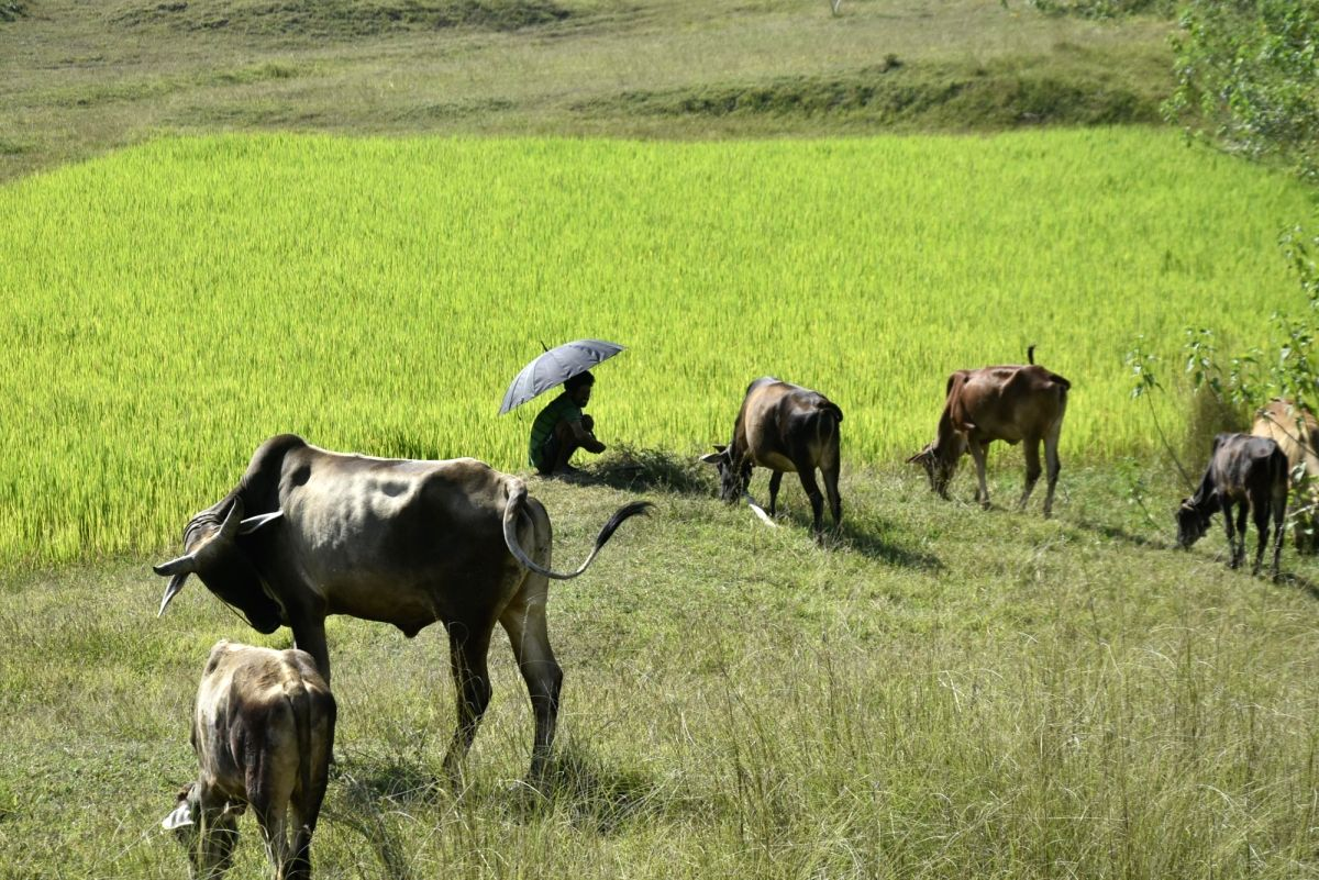 Cattle grazing near a paddy field. (File Photo: IANS)