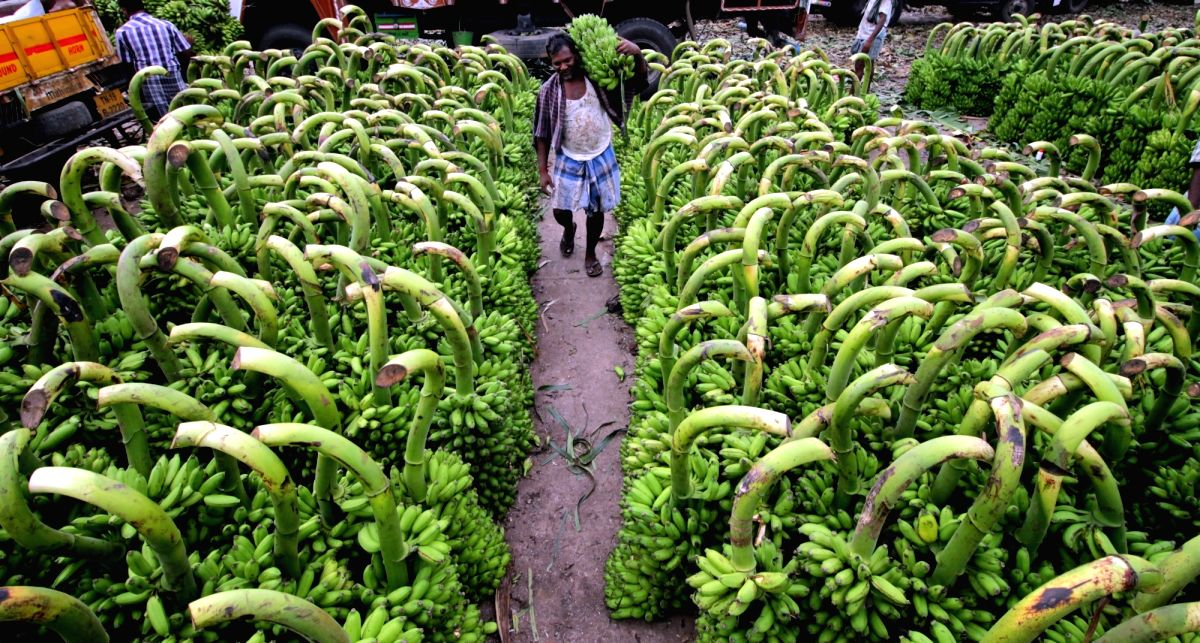 Chennai: Bananas at Koyambedu market on Aayudha Pooja in Chennai, on Oct 9, 2016.