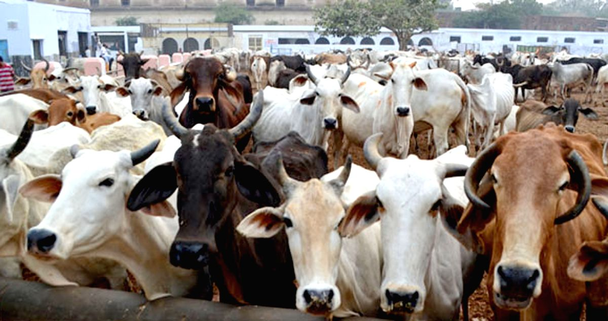 Cows. (File Photo: IANS)