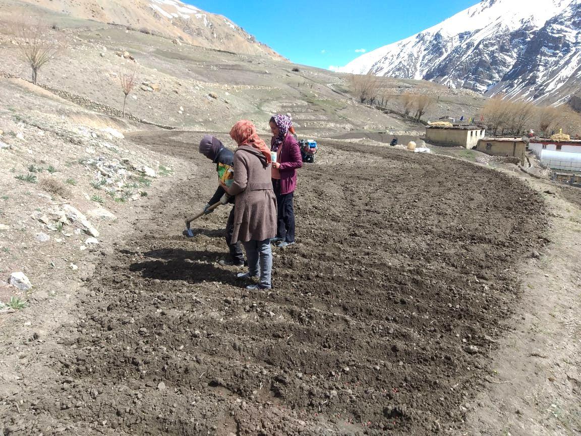 Farmers in Himalayan peaks go for long shelf-life peas amid lockdown worry.