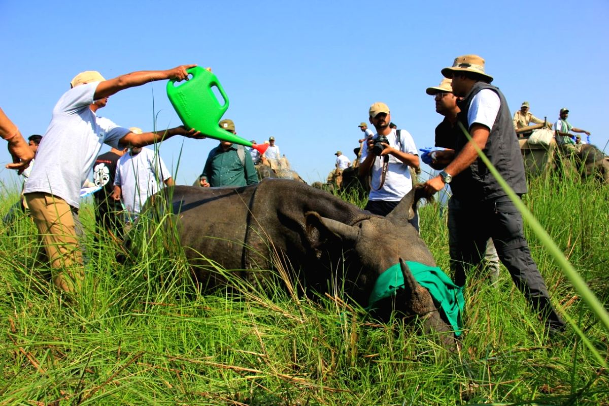 Foresters cooling off the sedate Rhino that was trans located within Dudhwa National Park as its second abode. The rehabilitation was stuck for 27 years.