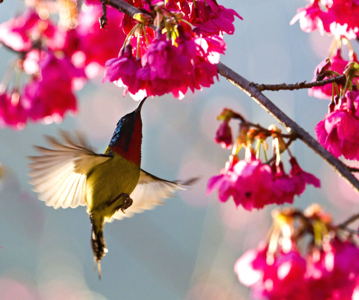 A bird flies among blooming cherry flowers