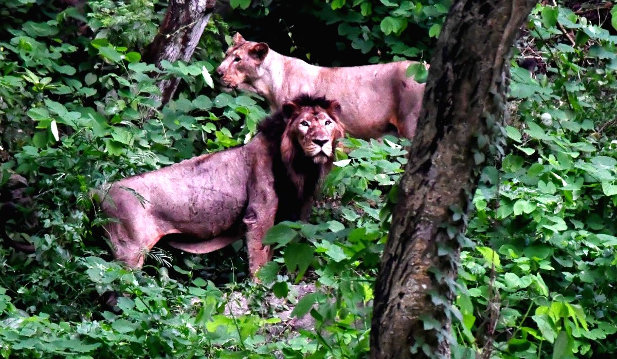 Gandhinagar, June 10 (IANS) The population of pride of Gujarat, the Asiatic Lion, has grown from 523 in 2015 to 674 in 2020, a growth of about 29% as per the latest census.