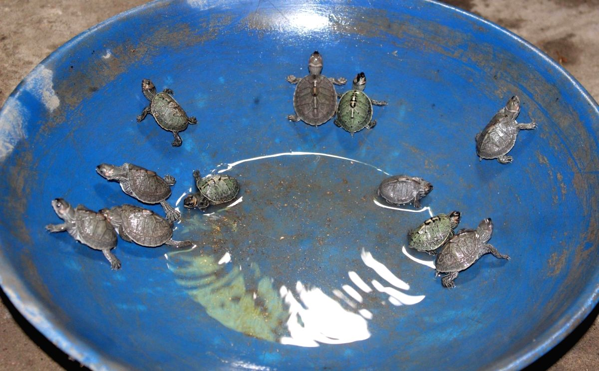 Hajo: A view of an extinct species of freshwater baby turtles also known as the black soft-shell turtle at Hayagriva Madhava temple in Assam's Hajo, on June 16, 2019. Process of rearing the black soft-shell turtles has been such a roaring success tha