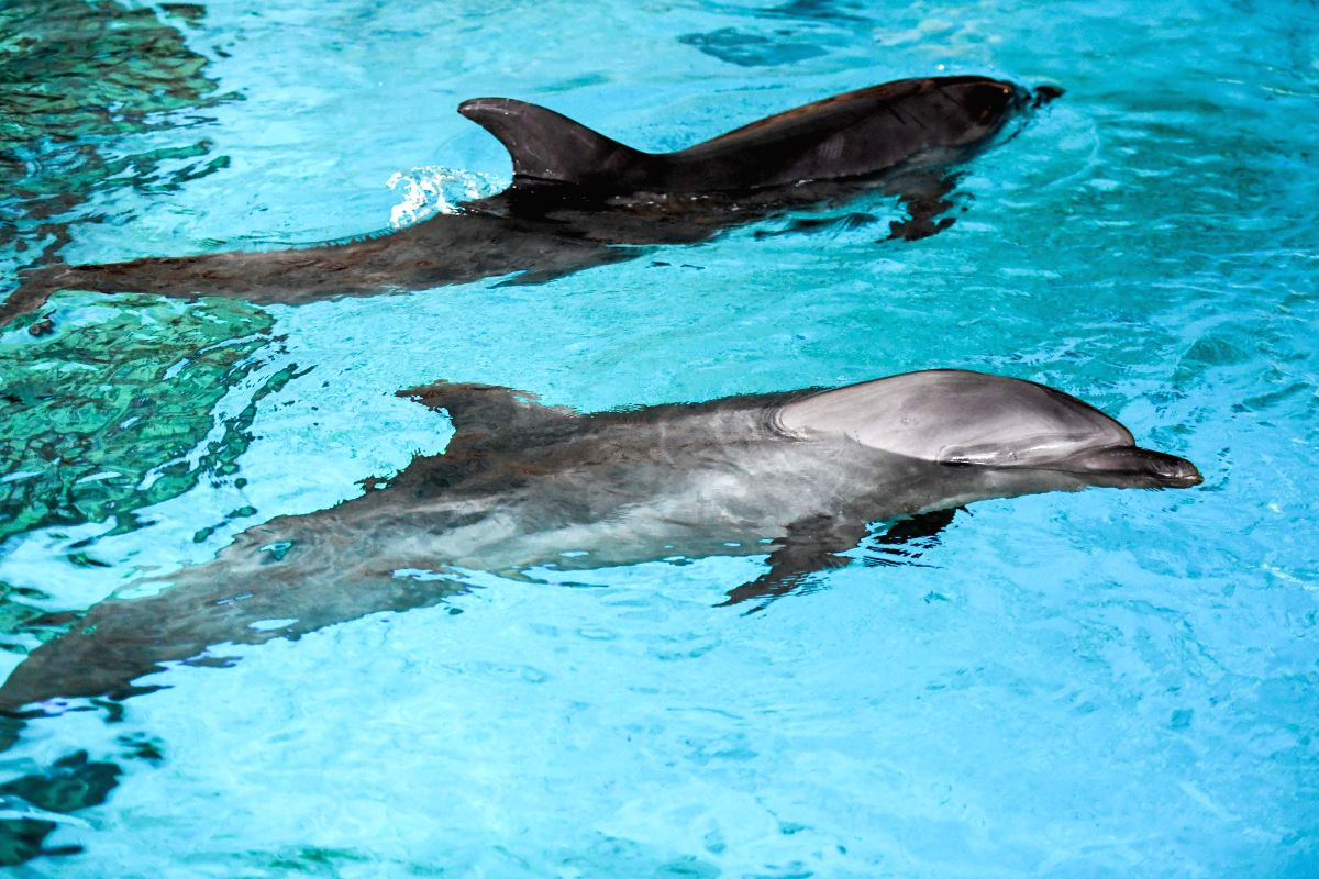 HARBIN, Aug. 16, 2017 - Two bottlenose dolphins are seen at the Poseidon ocean kingdom in Harbin, capital of northeast China's Heilongjiang Province, Aug. 15, 2017. Two bottlenose dolphins, ...