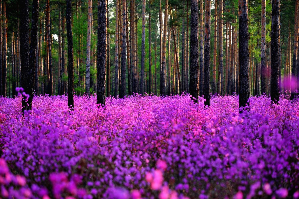 Rhododendrons blossom in a PINE FOREST near Oupu Township of Huma County.