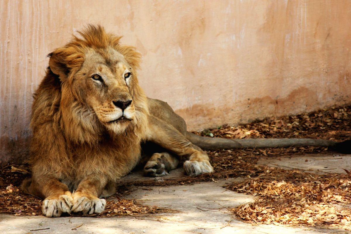 Indian lion.