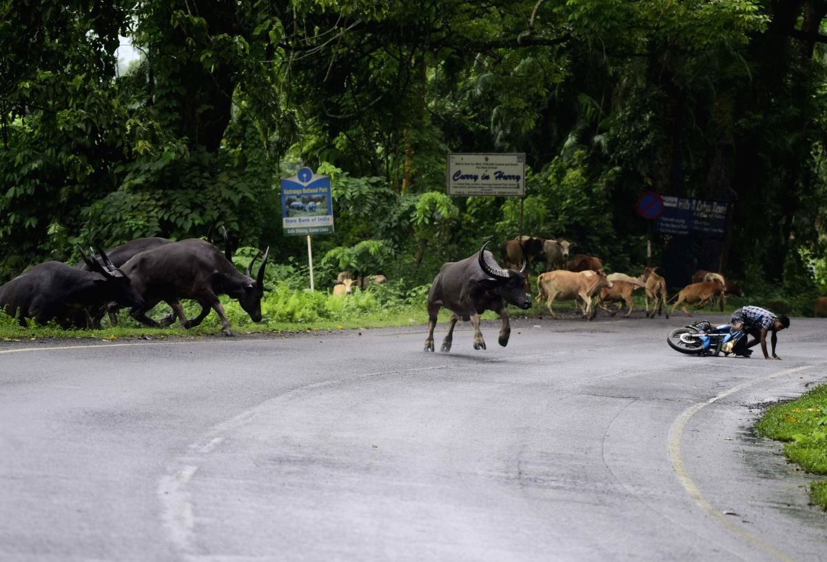 Kanchanjuri: Wild buffaloes run towards a higher land to take refuge from flood water at the Kaziranga National Park in Assam's Kanchanjuri, on July 15, 2019.