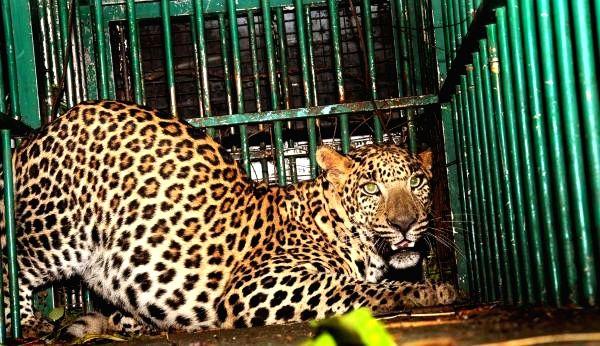 Leopard (File Photo)