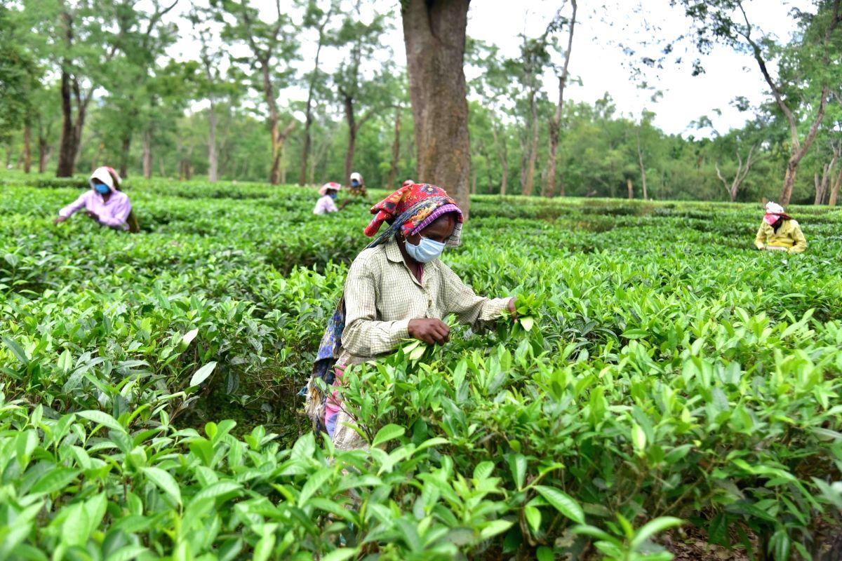 Nagaon: Women wearing face masks pick tea leaves at Kondoli tea estate in Nagaon District of Assam on Wednesday, 26 May, 2021.(Photo: Anuwar hazarika/IANS)