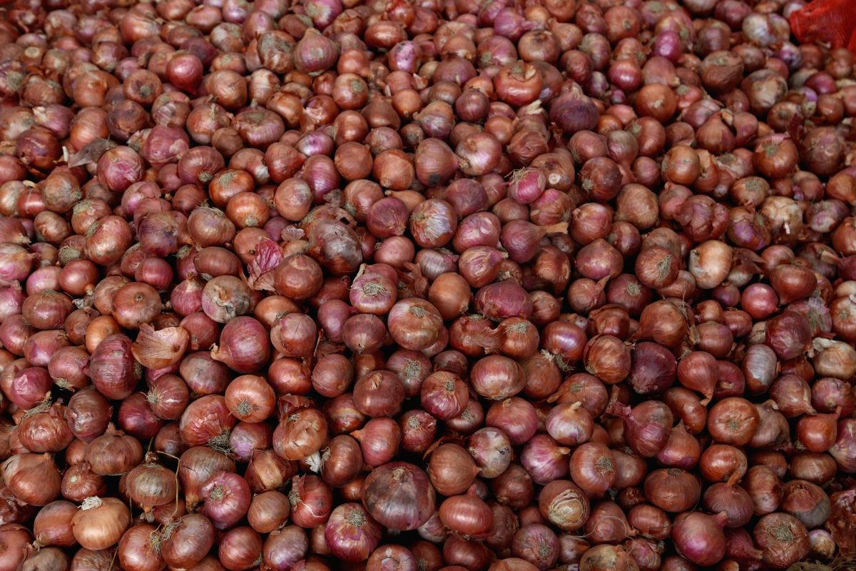 New Delhi: Consumers are likely to shed more tears over high onion prices as unexpected rains and pest menace have hit the crop in major onion-producing States in the South. The retail price of onion has gone up since the end of August this year. A s