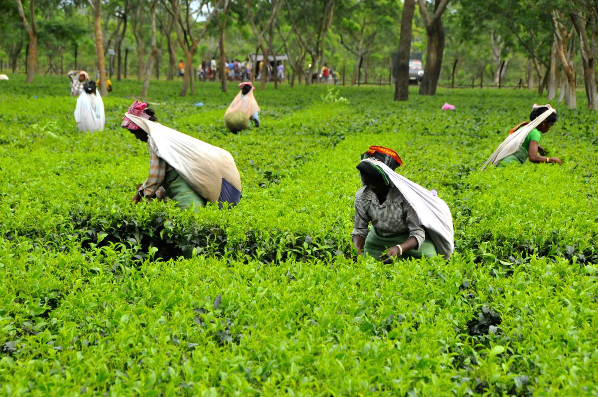 Over 850 big tea gardens and thousands of small gardens in the northeastern region of India specially in Assam are closed leading to huge economic loss and jeopardizing the livelihood of lakhs of workers. (Xinhua/Shariful Islam/IANS)