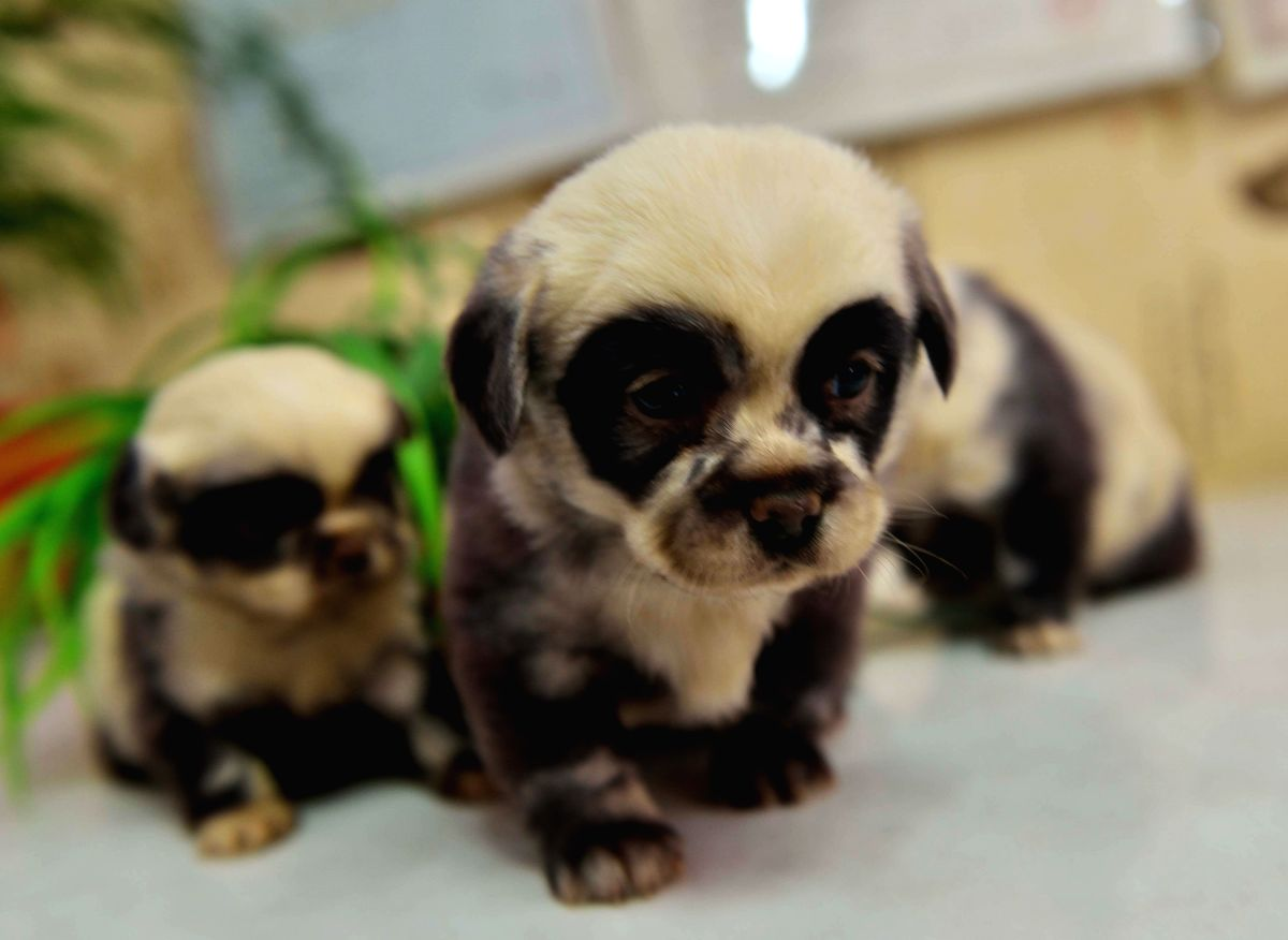 :Photo taken on Feb. 22, 2014 shows three puppies looking like pandas in Yancheng City, east China's Jiangsu Province. A dog with dark fur gave birth to 6 ...
